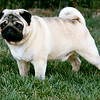 AKC Champion Show Pugs : 